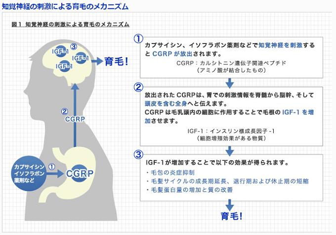 IGF-1の育毛メカニズム