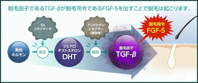 脱毛因子TGF-βの働き